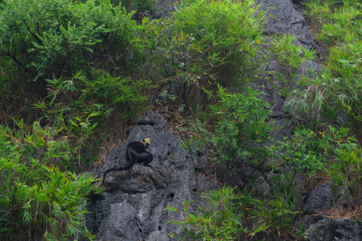 Looking for the Cat Ba Langur