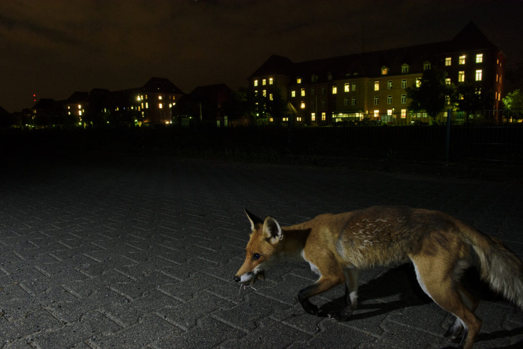 City foxes feed on a wide variety of food compared to their cousins in the woods