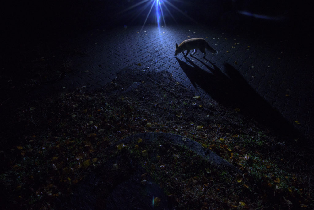 At night, foxes feel free to roam around the old military barracks of Spandau